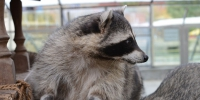 Raccoon_Moscow_zoo - Мой район